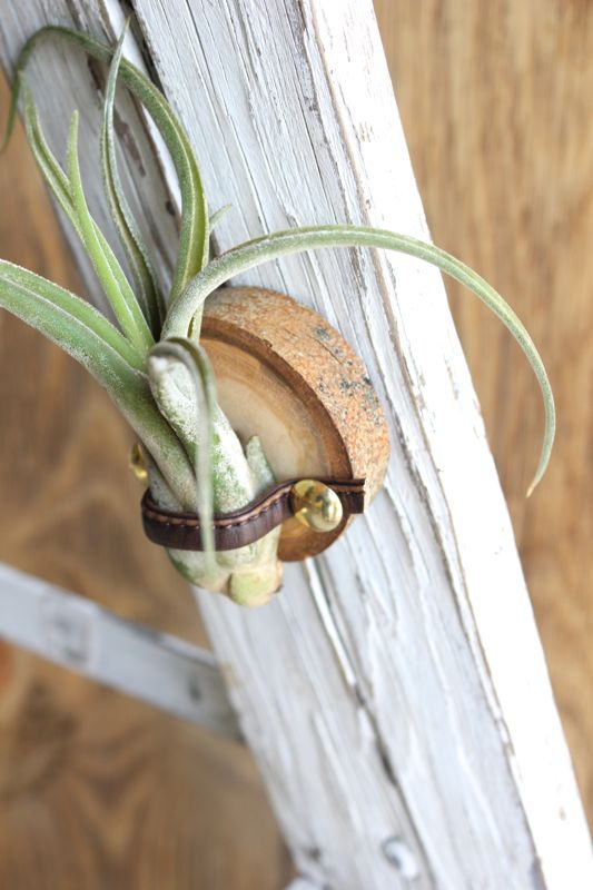 air-plant-holder-wood-slice-diy-gold-push-pin-gift